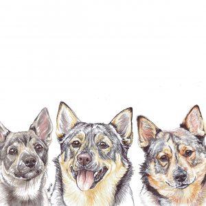 Swedish Vallhunds
