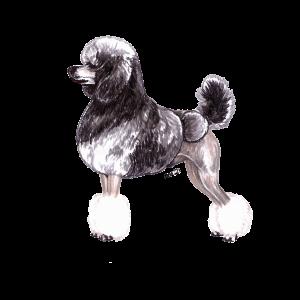 Standard Poodle Silver Sable 4×6 Portrait Original